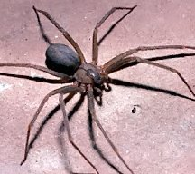 Brown Recluse Spider: pictures, information, classification and more