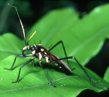 A picture of an Assassin Bug (click to enlarge)