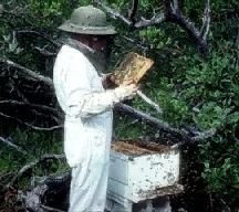 Beekeeping: pictures, information, classification and more