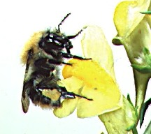 Bumble Bee: pictures, information, classification and more