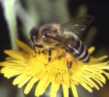 A picture of an Honey Bee (click to enlarge)