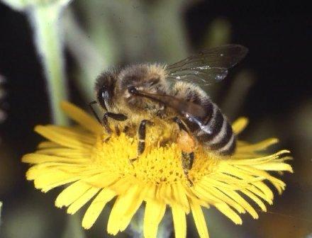 Honey Bee in the Field