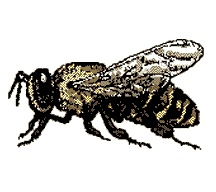 Honey Bee: pictures, information, classification and more