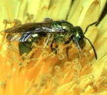 Sweat Bee: pictures, information, classification and more