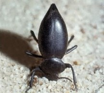 A picture of a Bombardier Beetle