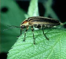 A picture of a Firefly