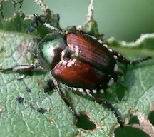 A picture of Japanese Beetles (click to enlarge)