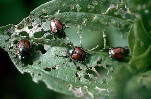 A picture of Japanese Beetles