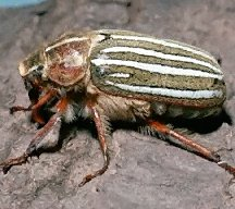 A picture of a Ten Lined June Beetle (click to enlarge)