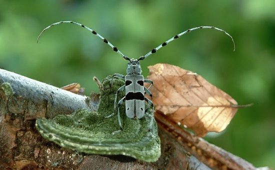 A picture of a Longhorned Beetle