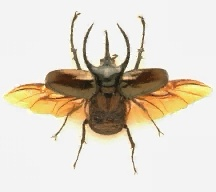 A picture of a Male Atlas Beetle