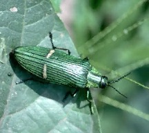 A picture of a Metallic Wood Borer (click to enlarge)