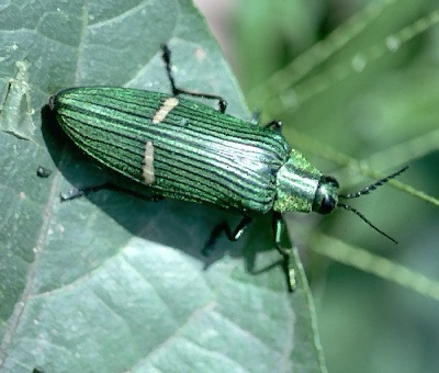 A picture of a Metallic Wood Borer