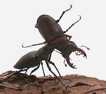 A picture of Stag Beetles