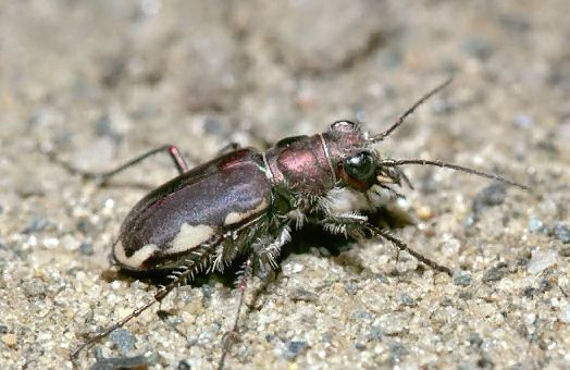 A picture of a Tiger Beetle