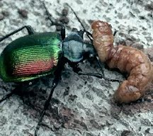 A picture of a Caterpillar Hunter Beetle