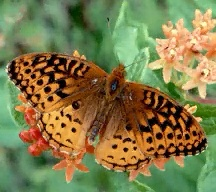A picture of a Fritillary