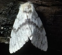 A picture of a Gypsy Moth