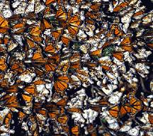 A picture of a Monarch Migration (click to enlarge)