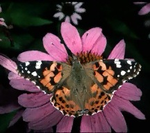 A picture of a Painted Lady