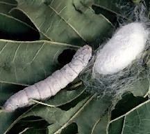 A picture of a Silkworm Larva and a Cocoon (click to enlarge)
