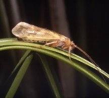A picture of a Caddisfly