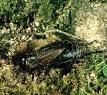 A picture of a Field Cricket