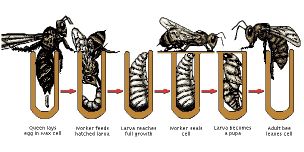 Development of the Honey Bee