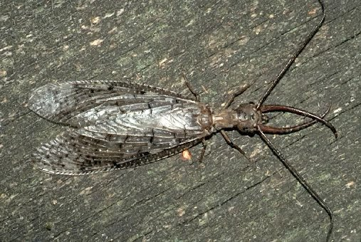 A picture of a Dobsonfly
