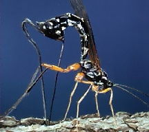 A picture of a Female Ichneumon Wasp Laying Eggs