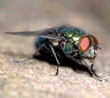 A picture of a Blow Fly