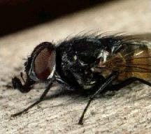 A picture of a House Fly (click to enlarge)