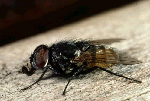 A picture of a House Fly
