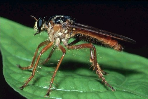 A picture of a Robber Fly