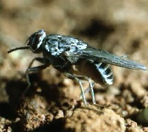 A picture of a South African Tsetse Fly