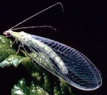 A picture of a Green Lacewing (click to enlarge)