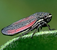 A picture of a Leafhopper (click to enlarge)
