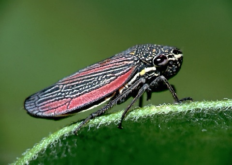 A picture of a Leafhopper