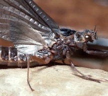 A picture of a Mayfly (click to enlarge)