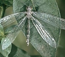 A picture of an Antlion Adult (click to enlarge)