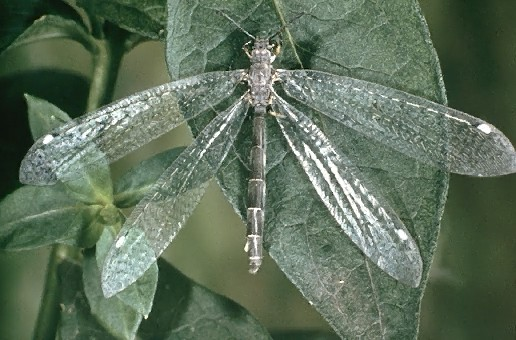 A picture of an Antlion Adult