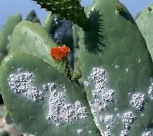 Cochineal Insect Pictures Information Classification And More