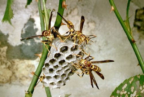 A picture of a Paper Wasp