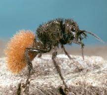 A picture of a Velvet Ant Yellow Velvet Ant