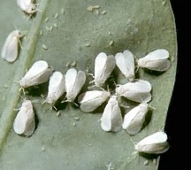 A picture of Whiteflies